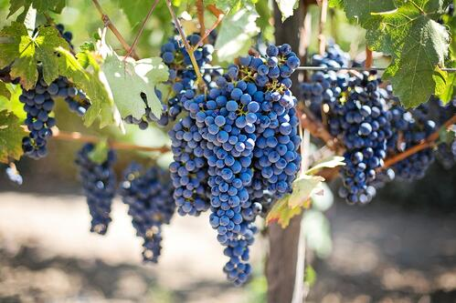 grapes-553464_1920